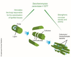 lsc helps increase fiber degradation