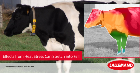 LAN-heat-stress-fall-cows