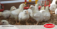 live-yeast-broilers-lallemand