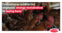 Pediococcus acidilactici improves energy metabolism in laying hens