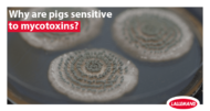 pigs are sensitive to mycotoxins