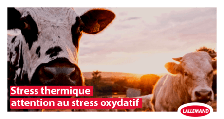 photo vaches stress oxydatif