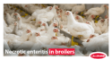 Necrotic enteritis in broilers