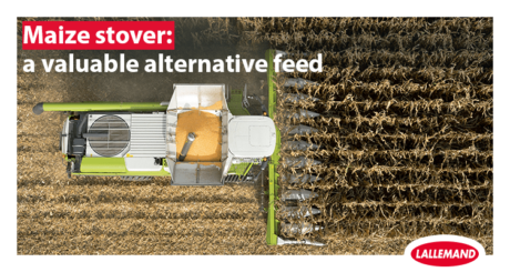 Maize stover: a valuable alternative feed