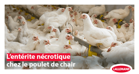 enterite necrotique poulet de chair
