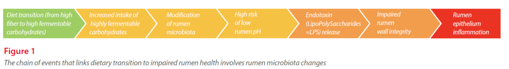 the chain of events that links dietary transition to impaired rumen health involves rumen microbiota changes