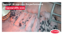 levucell sb improves the performances of hyperprolific sows