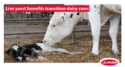 transition dairy cow and its calf