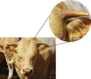 inflammation of the horns is due to histamine release and can be an indicator of poor rumen function