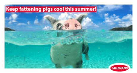 keep fattening pigs cool this summer