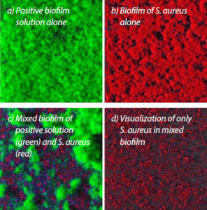 Representation of a positive biofilm interaction with S. aureus