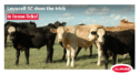 grazing beef benefit from levucell sc